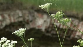 Ponte antiga do tijolo coberto de vegetação com a grama filme