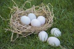 Ponte d'oeufs dans le nid d'oiseau photos stock