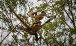 Ponte de macaco Imagens de Stock Royalty Free