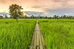 ponte de madeira dos anos de idade 100 entre o campo do arroz com luz solar em N Fotografia de Stock Royalty Free