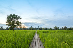 ponte de madeira dos anos de idade 100 entre o campo do arroz com luz solar em N Imagens de Stock