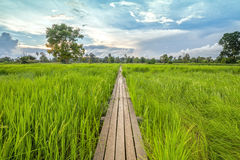 ponte de madeira dos anos de idade 100 entre o campo do arroz com luz solar em N Fotos de Stock Royalty Free