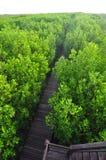 Ponte di legno con il rimboschimento della mangrovia in Petchaburi Immagini Stock Libere da Diritti
