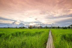 Ponte di legno di 100 anni fra il giacimento del riso con luce solare a N Immagine Stock Libera da Diritti