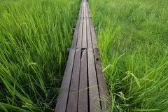 Ponte di legno di 100 anni fra il giacimento del riso a Nakhon Ratchasi Fotografie Stock Libere da Diritti