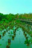 Ponte di legno lungo la foresta della mangrovia Immagine Stock Libera da Diritti