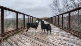 Ponte di Shepperd Dogs On A dell'australiano immagini stock libere da diritti