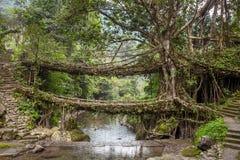 Ponte vivente delle radici vicino al villaggio di Nongriat, Cherrapunjee, Meghalaya, India immagini stock