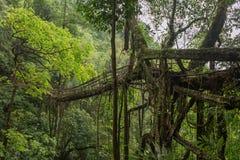 Ponte vivente delle radici vicino al villaggio di Nongriat, Cherrapunjee, Meghalaya, India immagine stock libera da diritti