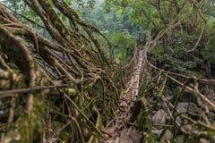 Ponte vivente delle radici vicino al villaggio di Nongriat, Cherrapunjee, Meghalaya, India immagine stock