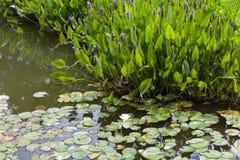 Pontederia azul violeta Foto de archivo