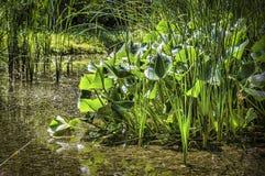 Pontederia cordata Lizenzfreies Stockbild