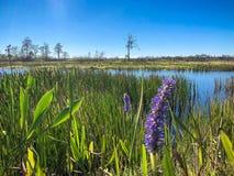 purple swamp flower stock photos