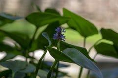 Pontederia cordata monocotyledonous aquatic flowering plant, violet purple small flower on stem in bloom royalty free stock images