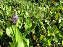 Pontederia Cordata rośliny Kwitnie w stawie (Pickerelweed) Obraz Royalty Free
