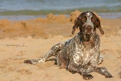 Ponteiro de cabelos curtos alemão na praia Imagens de Stock