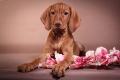 Ponteiro de Vizsla do Hungarian do cão fotografia de stock royalty free