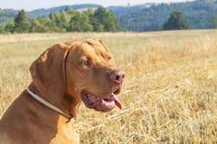 Ponteiro húngaro Viszla no campo colhido em um dia de verão quente Cão que senta-se na palha Fotografia de Stock Royalty Free