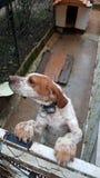 Ponteiro inglês - cão do lebreiro Imagens de Stock Royalty Free