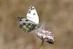 Pontia daplidice,从法国的巴恩白色蝴蝶 图库摄影