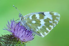 Pontia daplidice. On the flower with green background Stock Image