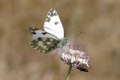 Pontia daplidice, Bath White butterfly from France Stock Photography