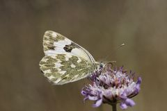Pontia daplidice, Bath White butterfly Royalty Free Stock Photos