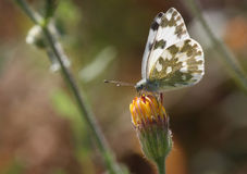 Pontia daplidice butterfly Royalty Free Stock Images