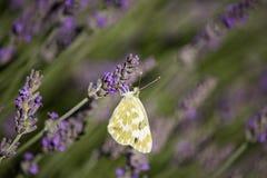 Pontia daplidice on Lavandula Flower Stock Photos