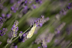 Pontia daplidice on Lavandula Flower Stock Photo