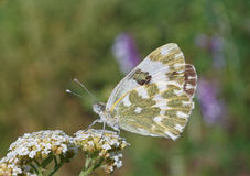 Pontia edusa butterfly Stock Image