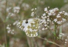 Pontia edusa butterfly on wild flower Stock Photography