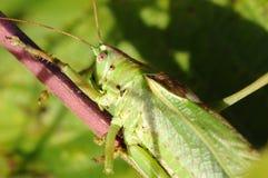 Pontilhar-locustídeo - punctatissima de Leptophyes imagens de stock