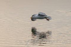 Ponto baixo do voo da gaivota sobre um lago com reflexão na água imagens de stock royalty free