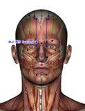 Ponto BL2 Cuanzhu da acupuntura Fotos de Stock