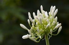 Ponto branco decorativo da flor do allium Fotos de Stock