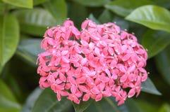 Ponto cor-de-rosa da flor Foto de Stock Royalty Free