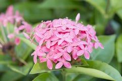 Ponto cor-de-rosa da flor Fotografia de Stock Royalty Free