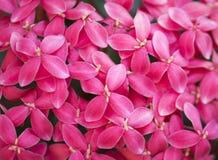 Ponto cor-de-rosa da flor Imagens de Stock