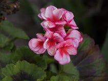 Ponto cor-de-rosa em meu jardim fotografia de stock