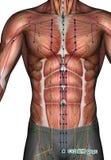 Ponto CV2 Qugu da acupuntura, ilustração 3D Foto de Stock Royalty Free