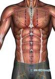 Ponto CV3 Zhongji da acupuntura, ilustração 3D Imagem de Stock Royalty Free