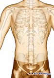 Ponto da acupuntura que tira KI11 Henggu, ilustração 3D Fotografia de Stock