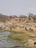 Ponto de água no safari de Tanzânia Imagem de Stock Royalty Free
