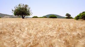 Ponto de vista durante a corrida no campo de trigo maduro Campo de trigo da opinião do zangão vídeos de arquivo