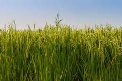 Ponto do arroz no campo do arroz Imagens de Stock