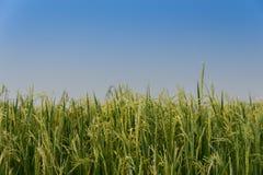 Ponto do arroz no campo do arroz em Tailândia Imagens de Stock Royalty Free