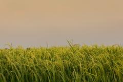 Ponto do arroz no campo do arroz em Tailândia Fotografia de Stock Royalty Free