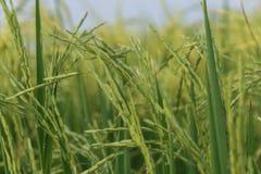 Ponto do arroz no campo do arroz em Tailândia Fotos de Stock Royalty Free