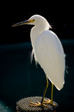 Ponto do Egret Fotografia de Stock Royalty Free